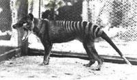U1_tassie-tiger